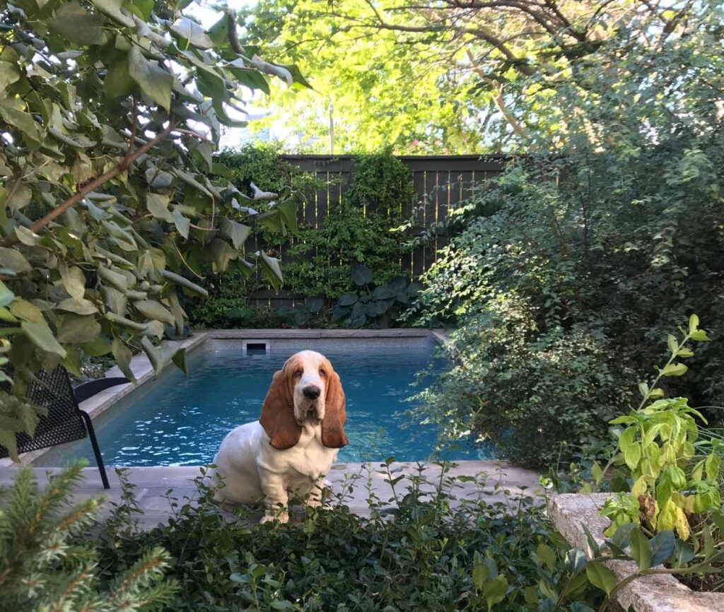 Donnelly and Puchala's 10-month-old basset hound, Gustav.